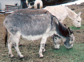 The Donkeys: Flower, Maggie, and Sam
