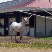 Race Horse Exercising
