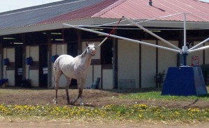 Gray racehorse on walker outside