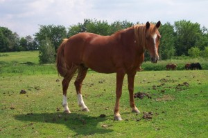 Sorrel horse in pasture