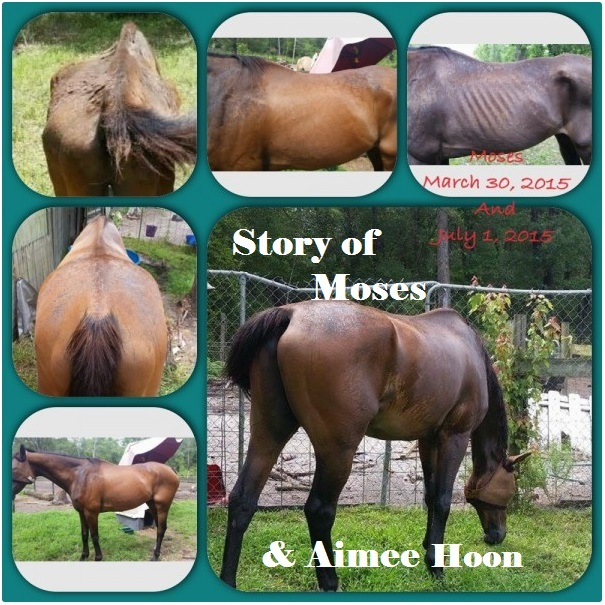 bay roan horse transformation - going from a body score of 1 to 5