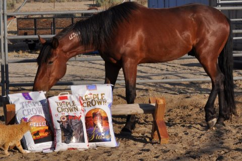 bay mustang sniffing Triple Crown feed bags