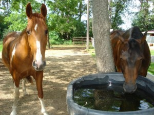 bay horse drinking out of water trough beside a brown paint