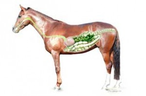 horse digestive tract diagram