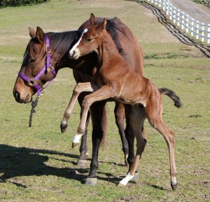 bay foal with white blaze rearing up beside mother