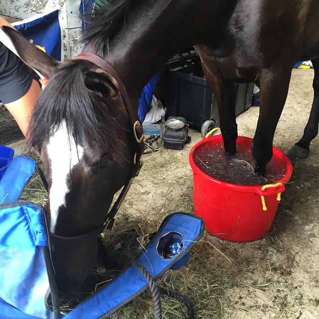 black horse standing with front feet in ice bucket