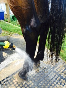 spraying a bay horses back legs with cold hose water after exercise