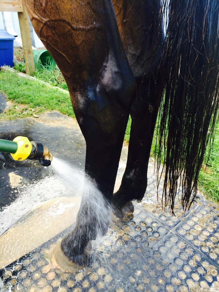 cold hosing bay horses back legs