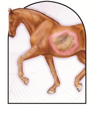 Horse gut