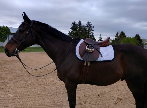 bay horse with english saddle and bridle