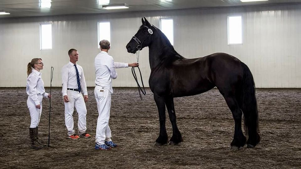 Two men and a woman training black friesian