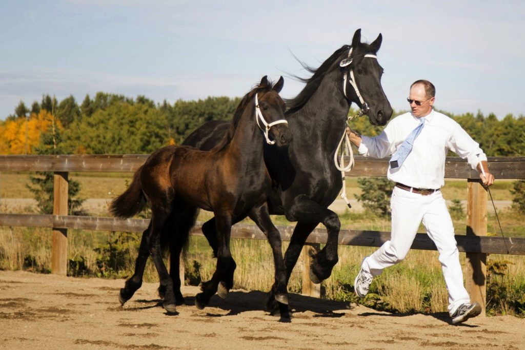 Man training friesian mare and foal