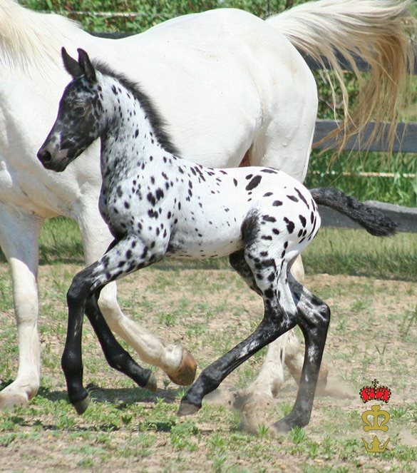 Spotted foal with white mom