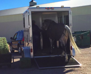 horse loading into trailer