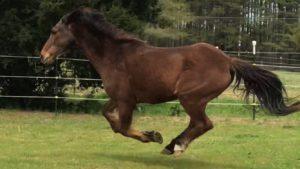 Bay horse running in pasture