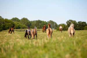 hind view of horses in pasture