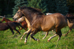 Herd of horses running through pasture