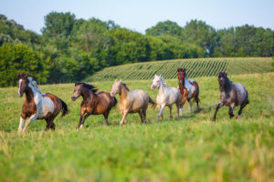 Group of horses running through pasture