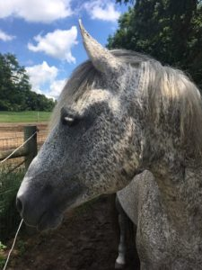 Speckled gray horse