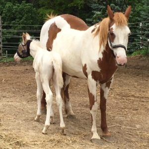 red sabino mare with foal