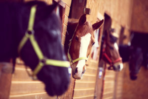 Black and chesnut horses in stalls