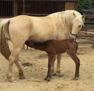 Palamino mare and her chesnut foal