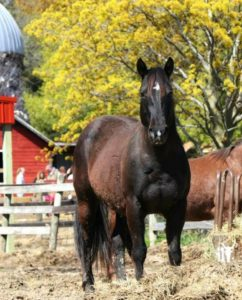 Black mare eating hay