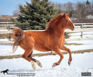 Chesnut gelding in the snow