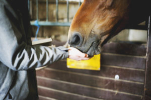 bay horse eating out of hands