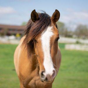 bucksin horse with stripe